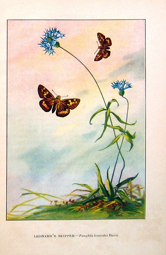 1917 Vintage Butterfly Print - Leonard s Skipper  Canadian Skipper - 2    Vintage Butterfly Print