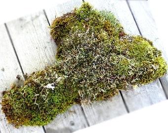 Moss Lichen Terrarium Natural Large One Piece Authentic Forest