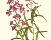 Flower Print - Fireweed - Vintage Wild Flower Print - Botanical Book Print - Wild Flowers of America - Willow Herb - Mary Vaux Walcott