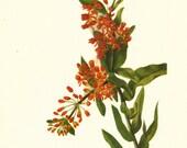 Flower Print - Butterfly Weed - Vintage Wild Flower Print - Botanical Book Print - Wild Flowers of America - Milkweed - Mary Vaux Walcott