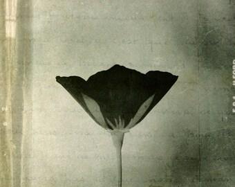 Eschscholzia. Black and white photography.  Fine art photography print. 8x8 (20x 20cm)