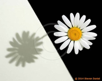 Daisy Flower Picture. Daisies. Artistic rendition of a daisy, Wall Art
