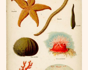 Starfish, Nereis, Leech, Sea-urchin, Red Coral, Jelly-fish, Sea-anemone, Reproduction, Antique Natural History, 1902, Paul Wagner,