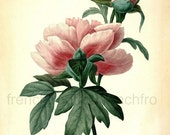 antique french botanical illustration chinese pink poeny DIGITAL DOWNLOAD