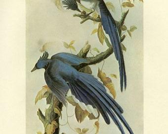 Audubon Magpie Print CLEARANCE