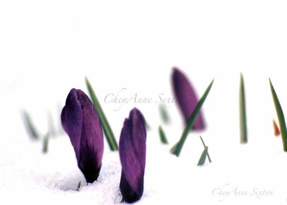 My most popular image never Sold Crocus Flower Art - Deep Royal Purple Crocus pushing thru'  Winter Art  giclee photo print 8x10