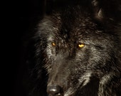 Black Timber Wolf - original photo - Forest Woodland Nature Decor Rustic Brown Sepia Wall Art Fairy Tale Spirit Wilderness Mythology