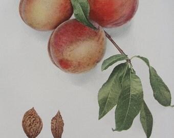 Botanical - original - Peach Lithograph - 1917