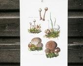 Vintage french botanical print, Puffball mushrooms, Mushroom Print