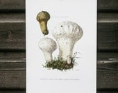Vintage french botanical print, Puffball mushroom, Mushroom Print