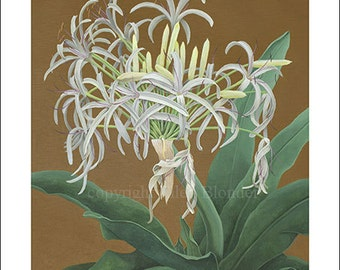 Spider Lily, Medium Giclee Print