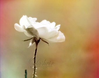 Rose Petals- Abstract art photography print of flower. White rose glowing in sunlight. For home decor.