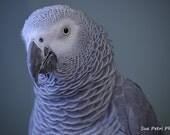 African Grey Parrot Photograph, Bird Photography, Nature Photography, Grey, Monochrome, Home Decor, Wall Art, Bird Print, Aviary Art
