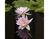 Water Lily flower reflections photo, lavender pink floral art fine art flower photography