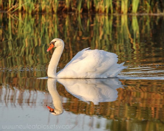 White Swan photo bird photography, swan reflection nature art