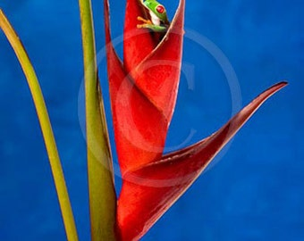Heliconia Frog Live Frog on Tropical Flower, Red Tropical Wall Art