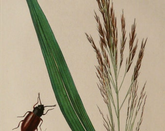 1836 Antique print of a COMMON REED PLANT and a Beetle. Grass-like plants. 178 years old botanical engraving.
