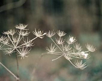 "Nature Photography, Queen Annes Lace, Flower, Autumn, Fauna Photograph, 8"" x 10"""