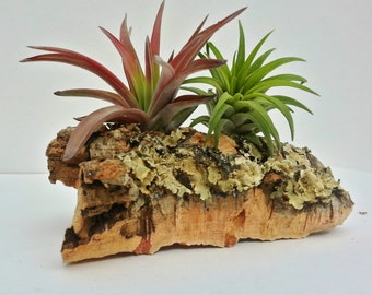 Pair Colorful Air Plants on Cork Wood Bark.30 Day GUARANTEE on All Plants
