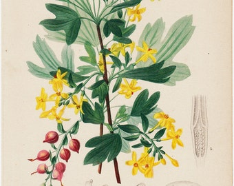 1870  BOTANICAL Original antique botanical print. fine lithograph, golden curran,  Blackcurrant