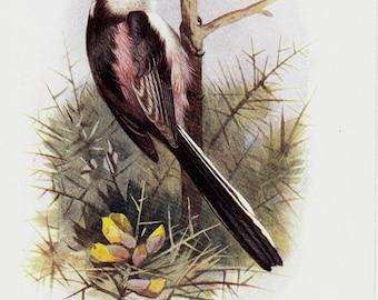 1908 Edwardian antique bird print, Long-tailed