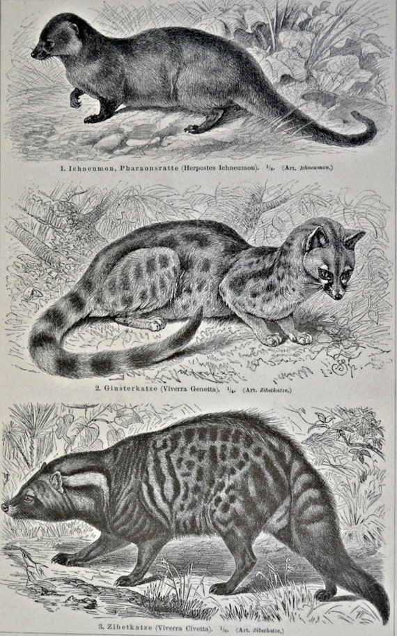 Mongooses and civets print. Natural history engraving. Old book plate,1901. Fauna illustration. 113 years lithograph. 9'6 x 6'2 inches.