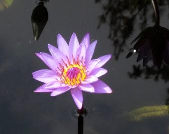 Purple Water Lily 8X10 Photo, Lotus Flower Print, Modern Wall Art, Zen Art, Purple and Yellow, Water Lilies, Lily Pads, Fine Art Photography