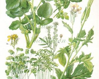 Vintage Botanical Print Antique WATERCRESS ROCKET 153, plant print botanical print, bookplate art print, vegetables plants plant wall