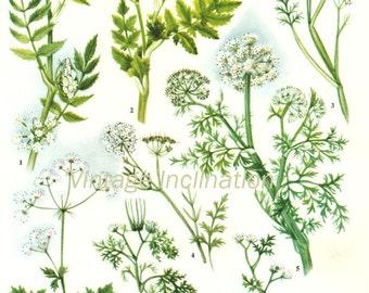 HERBS Vintage Botanical Print Antique, plant print 89 botanical print, bookplate art print, herb plants plant wall print