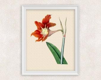 Amaryllis Botanical Print - Red Orange Flower Art - 8x10 Wall Art Prints - Antique Prints - Home Decor - Botanical Art Print -  Item #143
