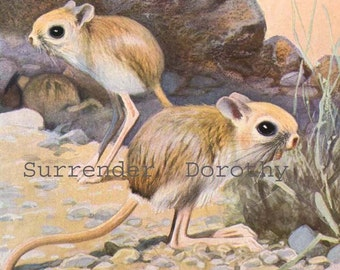 Kangaroo Mouse Natural History Lithograph Illustration Germany Original Edwardian Era Art To Frame