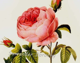 Burgundy Rose Redoute Rosa Centifolia Parvifolia Vintage Flower Botanical Lithograph Poster Print To Frame 14