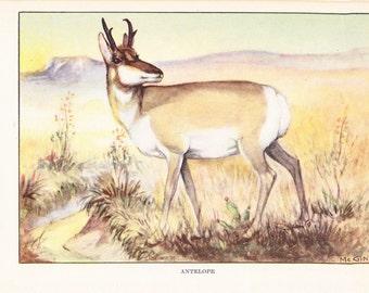 1926 Animal Print - Antelope - Vintage Antique Natural History Home Decor Art Illustration for Framing