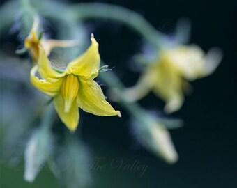 Tomato Photo, Flower Photograph, Rustic Home Decor, Yellow, Green, Black, Wall Art, Veggie Print, Summer Garden, Farm, Fine Art Photography