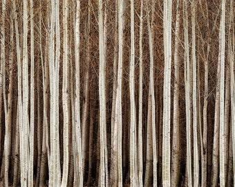 "Tree Nature Photography ""Elegant Contrast"" Brown White Forest Photograph, Country Woods Landscape, Rustic Woodland Wall Decor Tree Art Print"