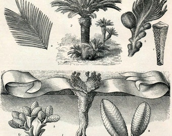 1897 Back-to-Back Antique German Engraving of Gymnosperms