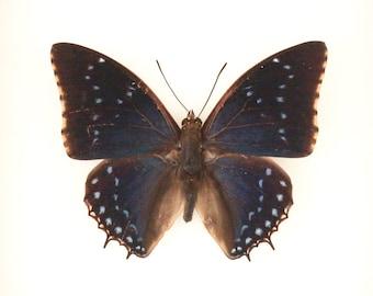 Framed Butterfly Shadowbox Display Charaxes tiridates