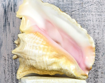 GAINT 8 inch conch shell...  just in case you need it... t13  Laf