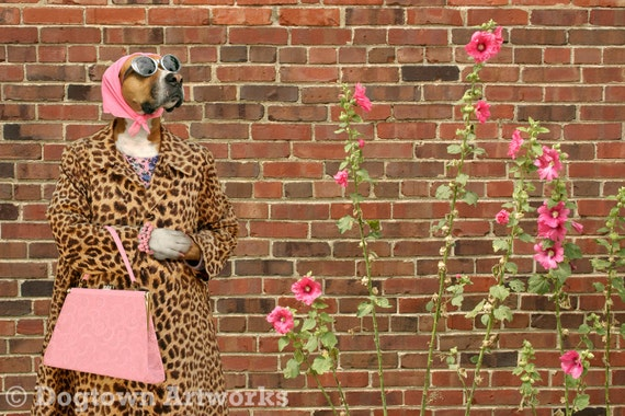 Pretty in Pink, large original photograph of a stylish Boxer dog wearing leopard print coat admiring pink hollyhocks