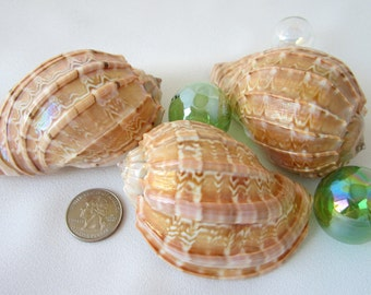 "Beach Decor Seashells -  Nautical Harpa Davidis Specimen Shell, 3"" - 1PC"