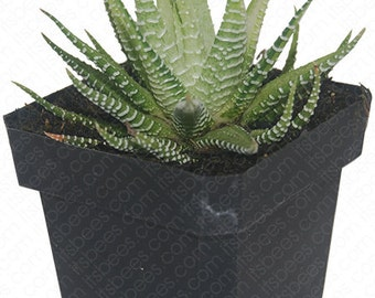 Variegated Zebra Haworthia Fasciata -  Aloe Succulent Plant