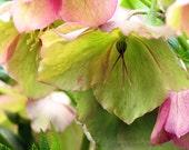 Spring Flower Photography Lenten Rose Hellebore pastel green soft pink floral woodland botanical nature photo home decor 7x5 10x8 14x11