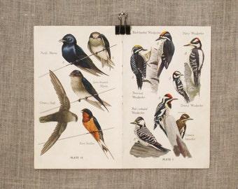 Antique Bird Watchers Book Plate, Aviary, Natural History, Illustration, Woodpecker, Shrikes, Double Page, Art and Craft Supply, Ephemera