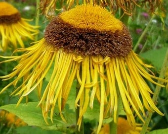 Elecampane, Horseheal Seeds | Rare Herb Used for Medicinal Treatments with Gorgeous Flowers!