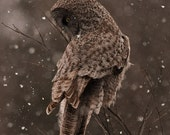 Great Grey owl, late evening snowstorm