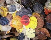 CANVAS: Multicolored Aspen Leaves on Colorado Trail (photo, various sizes)