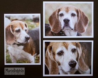 senior BEAGLE Bunch 3 photos (1 free) Wholesale Lot assortment color or BW PET photographs- Bagel the beagle dog waiting for home at shelter