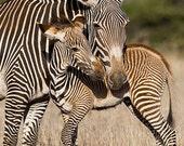 BABY ZEBRA and MOM Photo ...