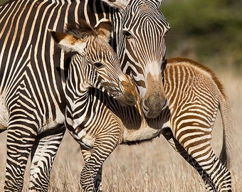 BABY ZEBRA and MOM Photo Print, Mom and Baby Animal Photography, Wildlife Photography, Safari Baby Nursery Art, Baby Nursery Decor, African