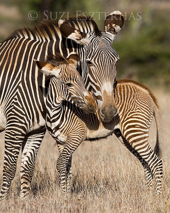 Baby Zebra And Mom Photo Print Mom And Baby Animal